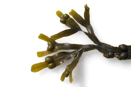 Bladderwrack, Fucus vesiculosus, is an alga that occurs in abundance in the North Sea and is an important medicinal plant.