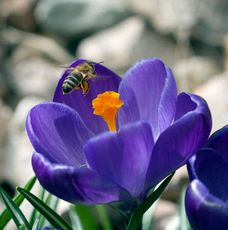 Honey bee, Apis mellifera, is an important insect for pollinating plants and collecting honey.