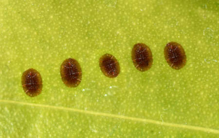 shield lice are pests and suck on almost to plants. They belong to the insects.