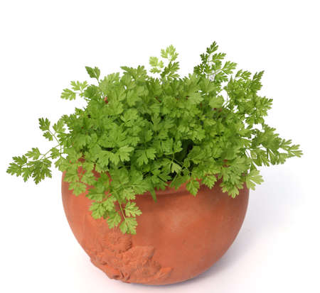 Chervil, Anthriscus cerefolium, is an important medicinal and medicinal plant. The herb is also used in the Frankfurt green sauce. Stock Photo