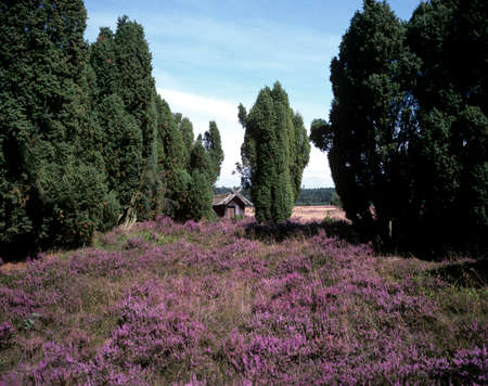 Luneburg Heath is one of the most beautiful landscapes in Germany and is located in northern Germany.