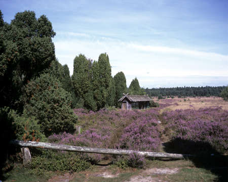 Luneburg Heath is one of the most beautiful landscapes in Germany and is located in northern Germany. Standard-Bild