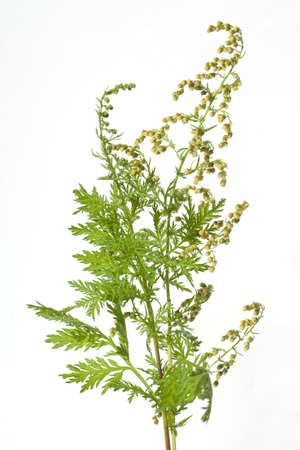Sweet mugwort, Artemisia annua, is an annual herb and is also used as a medicinal plant. Stock Photo