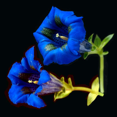 Gentian, Gentiana acaulis is a stemless type of gentian with beautiful blue flowers that is also found in the Alps.
