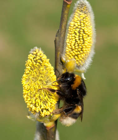 Bumblebees, Bombus, are useful insects for pollinating flowers.