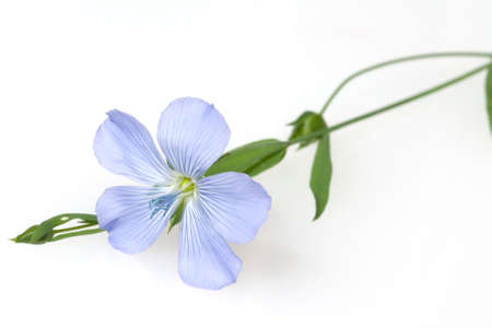 linum perenne, is an important medicinal plant with blue flowers and is used in medicine. The plant is annual and is also processed into fabric.