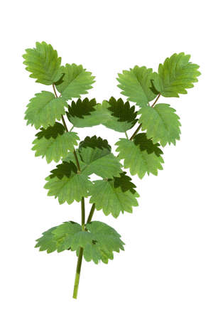 Little Bibernelle, Pimpinella saxifraga, Sanguisorba; minor, is medicinal and wild plant and comes as wild vegetables in the Frankfurt green sauce.