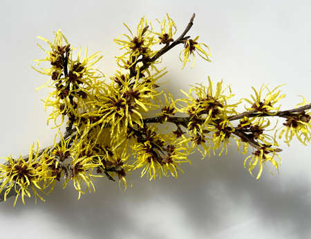 Witch hazel, Hamamelis japonica, is an important medicinal plant and is also used in medicine. It already blooms with yellow flowers in the winter months. Banque d'images