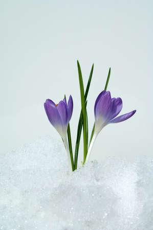 Elven crocus, Crocus tommasinianus is a delicate species of crocus that blooms with purple flowers in early spring.