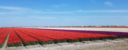 Tulip fields in the Netherlands, North Holland, are the fields where most of the tulips in Europe are grown. Stock Photo