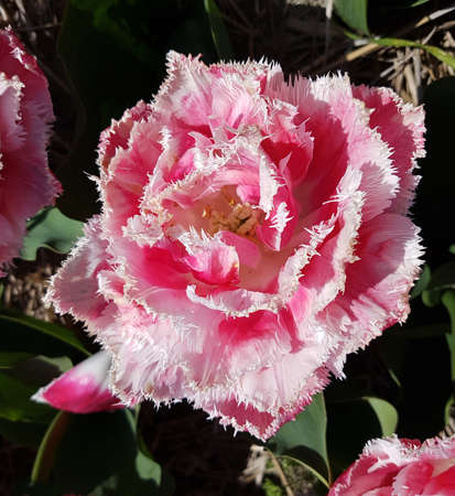 The fringed tulip is a very attractive spring flower with a frayed upper edge. It is an onion plant and comes in many different colors. Stock Photo