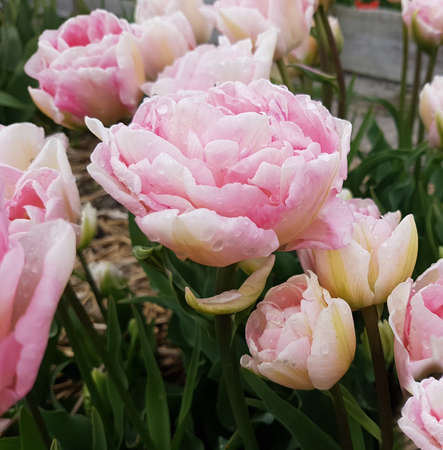The double tulip is a very attractive spring flower with a double head. It is an onion plant and comes in many different colors.