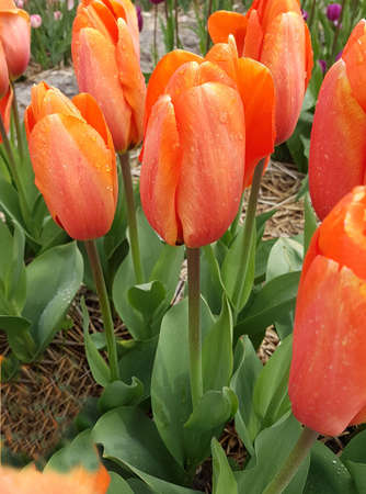 The tulip is a very attractive spring flower. It is an onion plant and comes in many different colors. Stock Photo