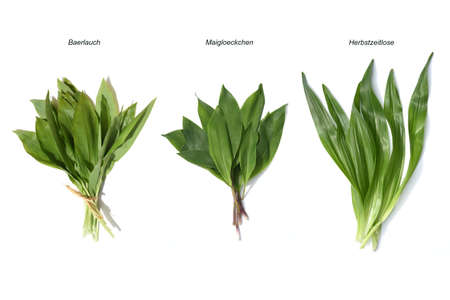 allium ursinum is an important herb and medicinal plant that has a garlic scent with white flowers. It has several poisonous doppelgangers, (double runner) such as lily of the valley, autumn crocus and arum.