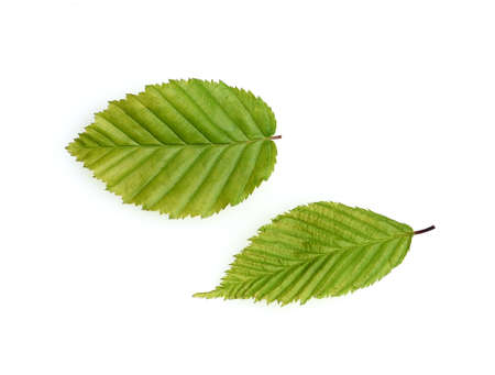 Common hornbeam, Carpinus, betulus, is a deciduous tree, which is often found in our forests. It is a powerful tree and its wood is an important timber supplier.