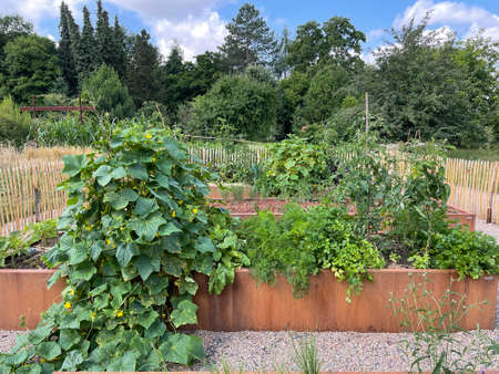 Raised bed is a vegetable or herb bed made of z. B. Wood which is easily accessible and can be ordered by people without having to bend down. Banque d'images