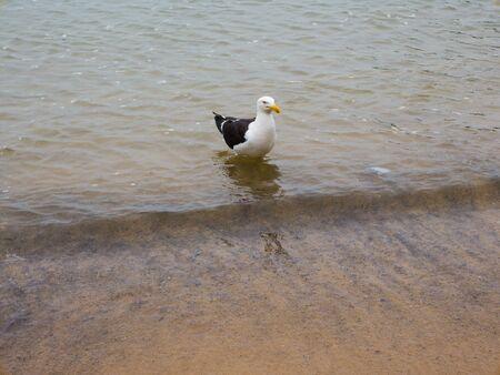 hermosa beach: Seagull on beach