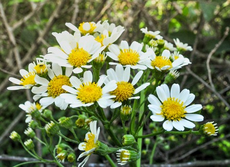 marguerite: field of camomiles on summer Stock Photo