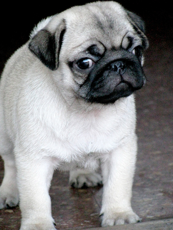 lovely lonely white younh  cute pug carlino dog Foto de archivo