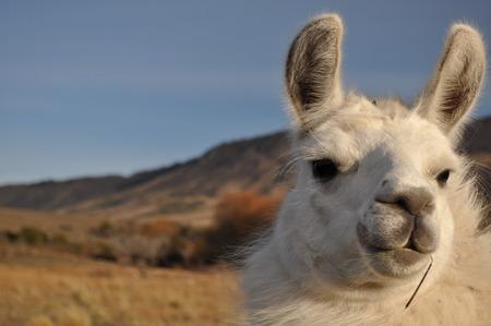 Patagonian Llama Stock Photo
