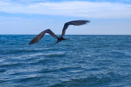 Closeup view of a frigatebird in flight in the Galapagos Islands in Ecuador
