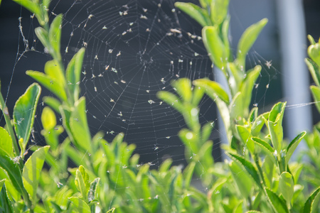 animal trap: The spider web (cobweb) full of insects