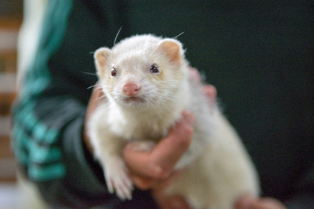 Man holding an Albino ferret Stock Photo