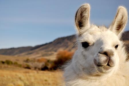 Patagonian Llama Zdjęcie Seryjne