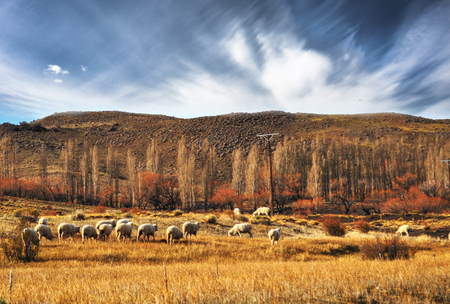 flock of sheeps grazin at Patagonian Landscape, Neuquen, Argentina