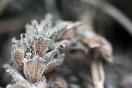 Detail of a dried lavander flower Stock Photo