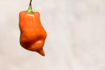 Peruvian red pepper Capsicum baccatum