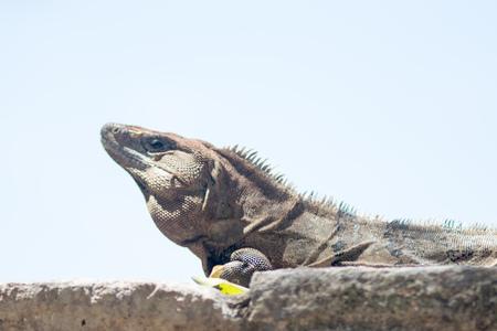 Mexican iguana sunbathing at Chichen Itza ruins
