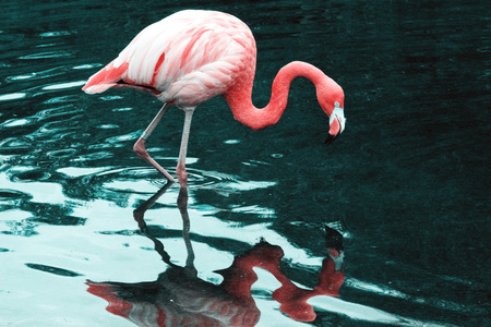 American Flamingo or Caribbean Flamingo (Phoenicopterus ruber)
