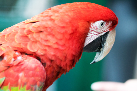 Portrait of an Scarlet Macaw staring at camera