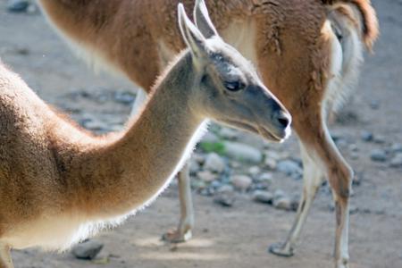 Portrait of a guanaco (Lama guanicoe), a camelid native to South America Stock fotó