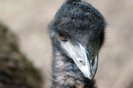 Emu bird looking at camera
