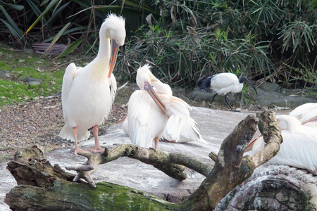 The great white pelican (Pelecanus onocrotalus) also known as the eastern white pelican Stok Fotoğraf