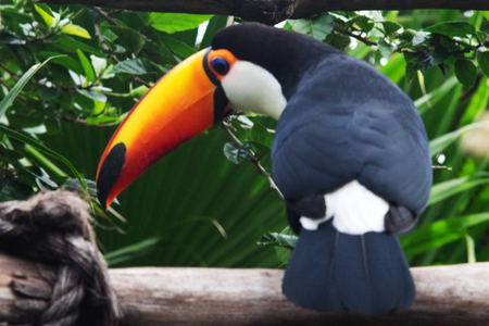 Colorful Toco Toucan bird looking at camera