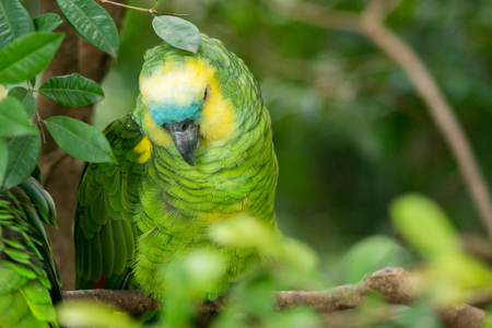 Portrait of a Yellow-Crowned Amazon Parrot bird