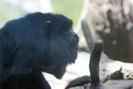 Black male howler monkey Alouatta Caraya