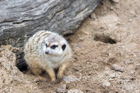 Meerkat digging in the dirt