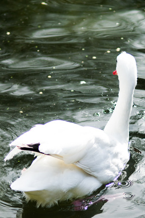White swan swimming in calm water