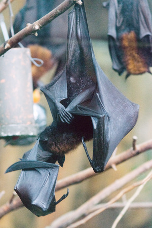 The large flying fox (Pteropus vampyrus), also known as the greater flying fox, Malayan flying fox