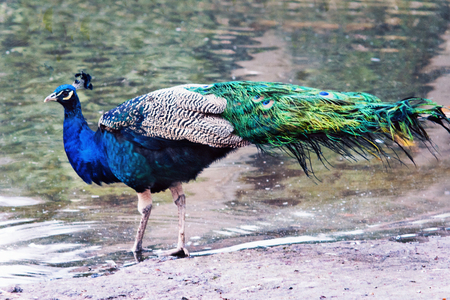The Indian peafowl or blue peafowl (Pavo cristatus) in the coast of a lake
