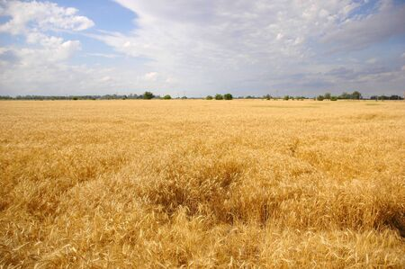 Landscape view of a Beautiful Wheat Field Stock Photo