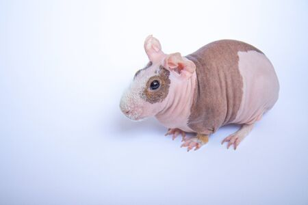 Bald guinea pig on a white background. Side view Banco de Imagens