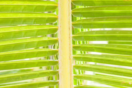 cycadaceae: closeup of green palm tree leaf. nature concept