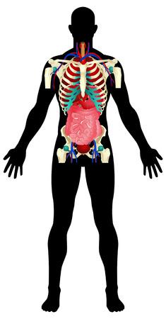Human Organs Stock Vector - 8356111