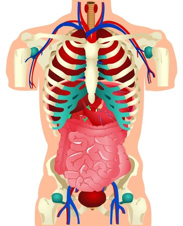 small intestine: Illustration of Human Organs Stock Photo