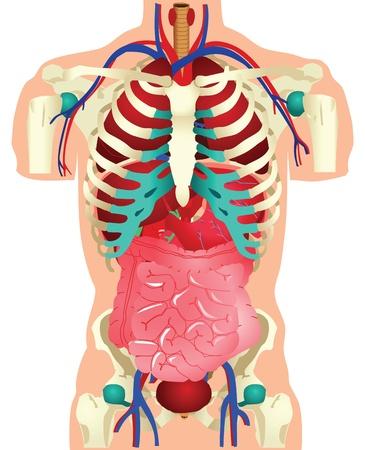 intestin: Stock illustration d'organes humains.